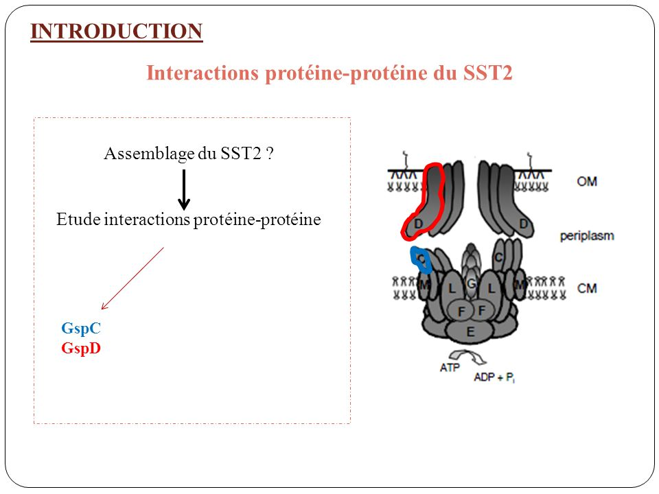 INTRODUCTION Interactions protéine-protéine du SST2 GspC GspD Gsp C GspM et GspL Assemblage du SST2 .