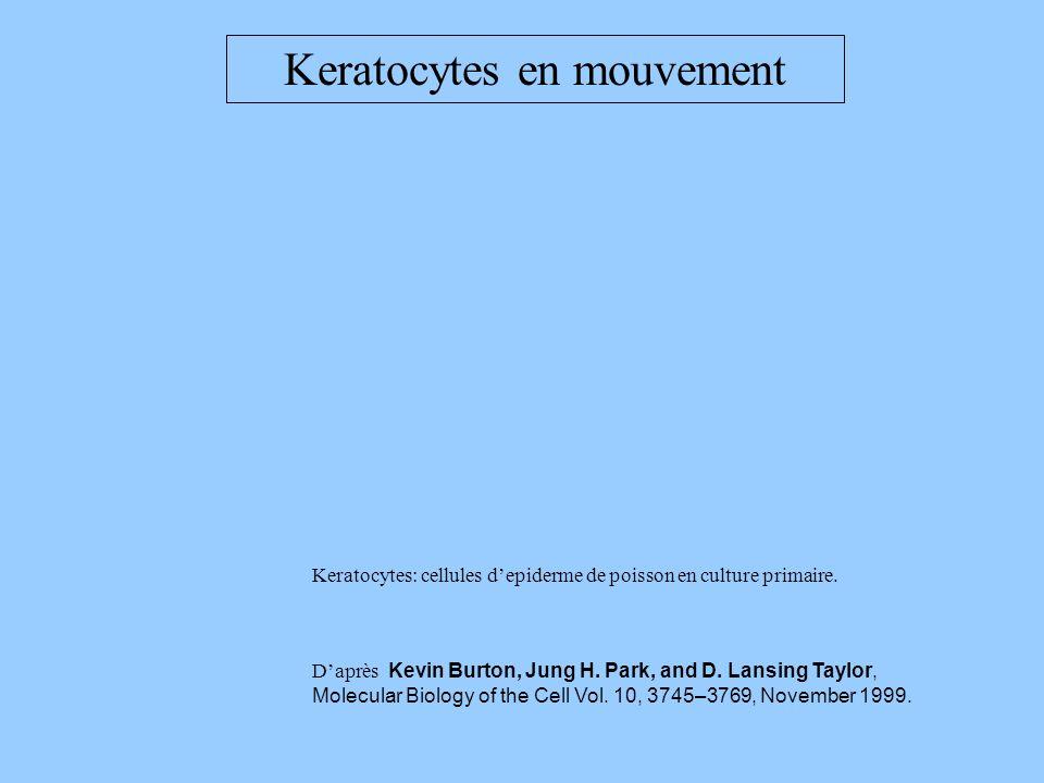 Keratocytes en mouvement Keratocytes: cellules depiderme de poisson en culture primaire. Daprès Kevin Burton, Jung H. Park, and D. Lansing Taylor, Mol