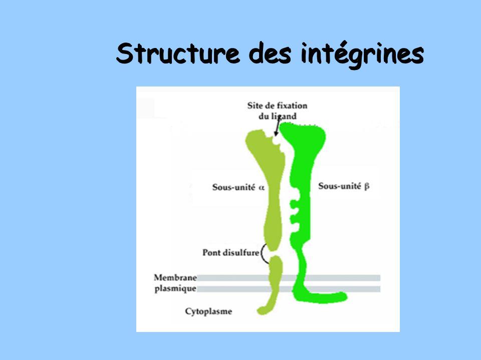 Structure des intégrines