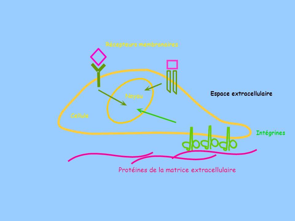 Cellule Protéines de la matrice extracellulaire Intégrines Espace extracellulaire Noyau Récepteurs membranaires