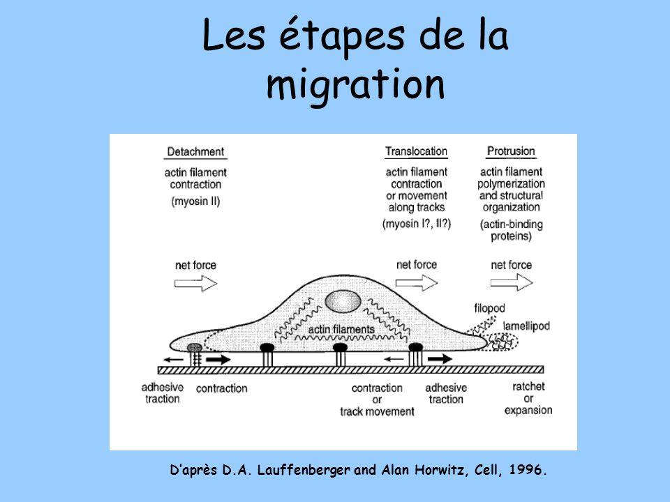 Les étapes de la migration Daprès D.A. Lauffenberger and Alan Horwitz, Cell, 1996.
