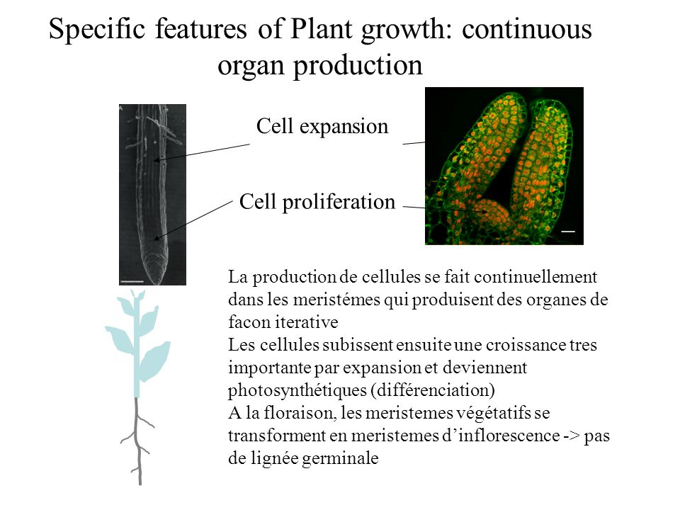 plasmodesmata forms symplasmic connections by trapping the endoplasmic reticulum by the cell plate: Specific features of plant cells: division Construction de la paroi a milieu de la cellule en division Cytoplasmic connections: macromolecular (RNA, proteins trafic promoteur GFP protein-GFP