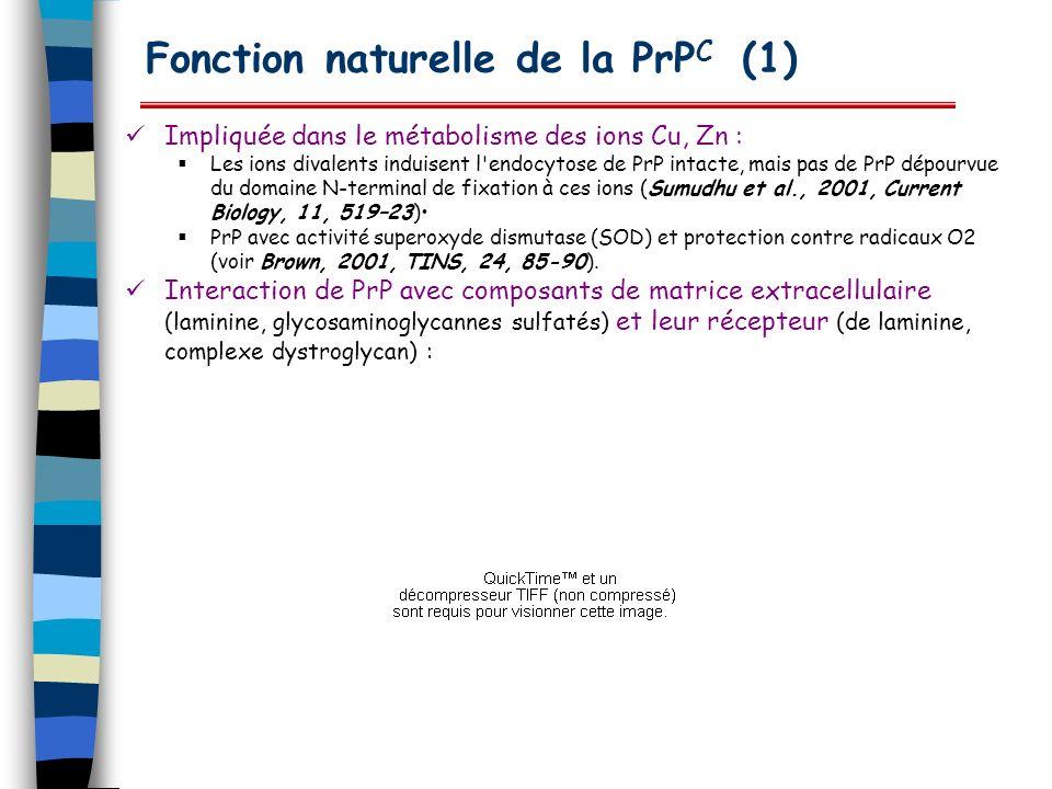 Fonction naturelle de la PrP C (1) Impliquée dans le métabolisme des ions Cu, Zn : Les ions divalents induisent l'endocytose de PrP intacte, mais pas