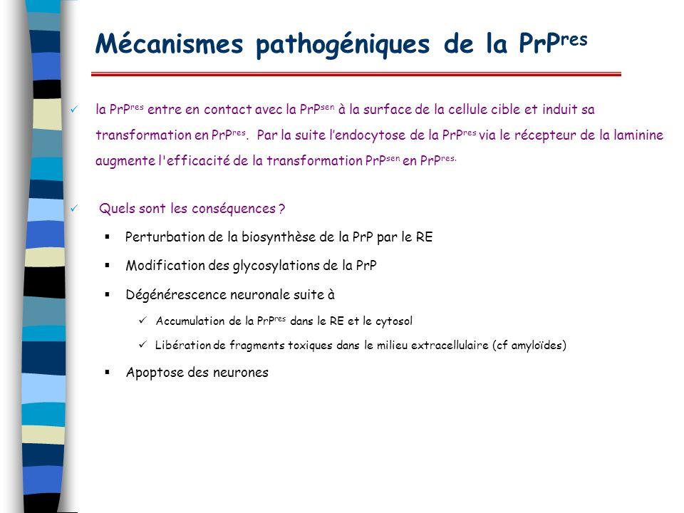 Mécanismes pathogéniques de la PrP res la PrP res entre en contact avec la PrP sen à la surface de la cellule cible et induit sa transformation en PrP