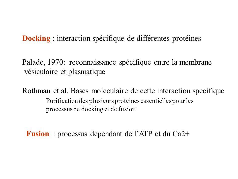 Docking : interaction spécifique de différentes protéines Palade, 1970: reconnaissance spécifique entre la membrane vésiculaire et plasmatique Rothman et al.