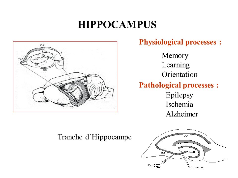 Physiological processes : Memory Learning Orientation Pathological processes : Epilepsy Ischemia Alzheimer HIPPOCAMPUS Tranche d`Hippocampe