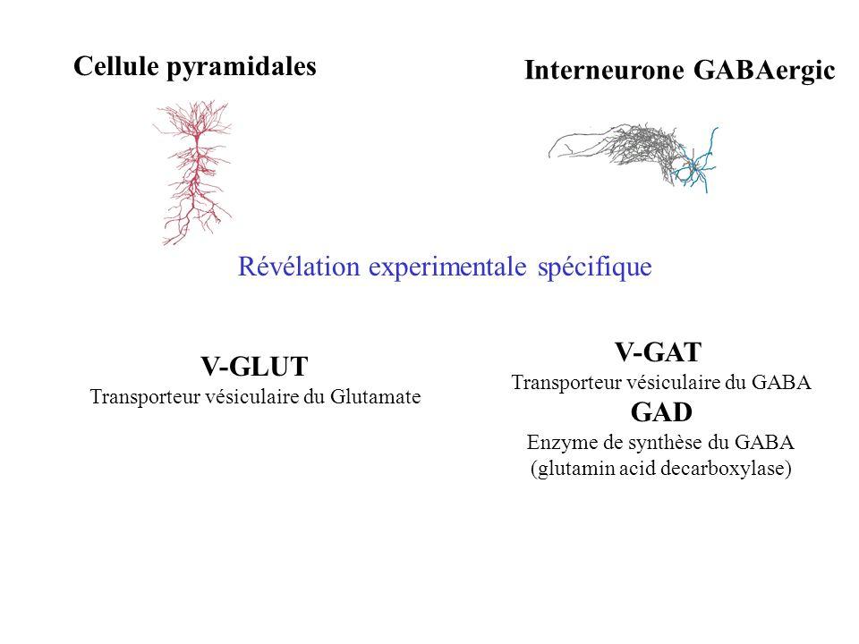 Cellule pyramidales Interneurone GABAergic Révélation experimentale spécifique V-GAT Transporteur vésiculaire du GABA GAD Enzyme de synthèse du GABA (glutamin acid decarboxylase) V-GLUT Transporteur vésiculaire du Glutamate