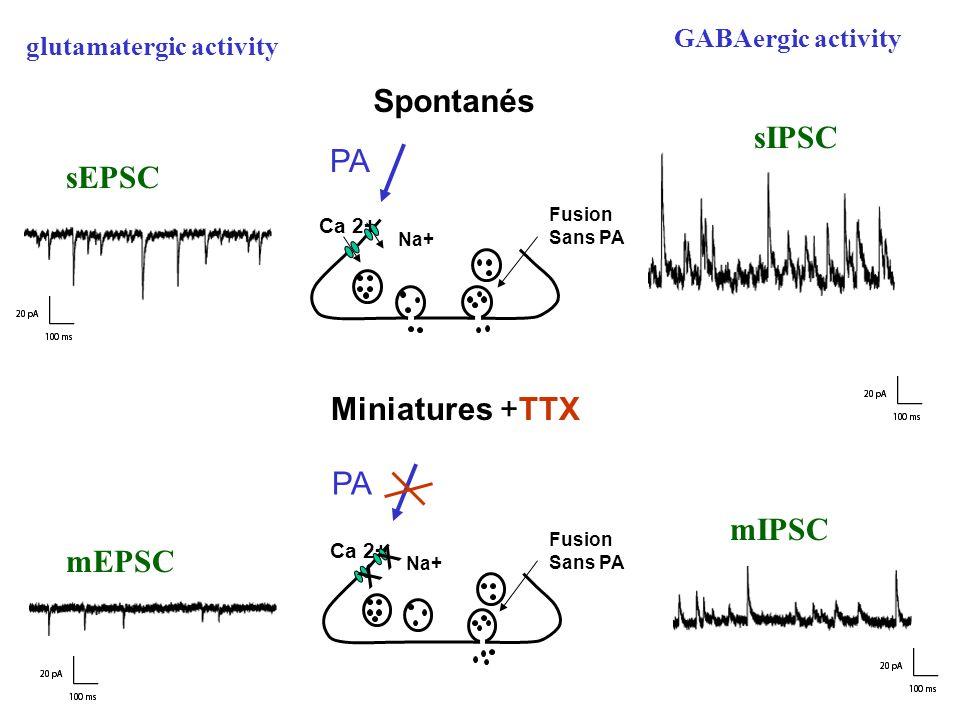glutamatergic activity GABAergic activity sEPSC sIPSC mEPSC mIPSC Spontanés PA Ca 2+ Fusion Sans PA Na+ Miniatures +TTX Fusion Sans PA Ca 2+ Na+ x x PA