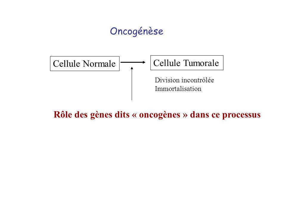 Oncogénèse Cellule Normale Cellule Tumorale Division incontrôlée Immortalisation Rôle des gènes dits « oncogènes » dans ce processus