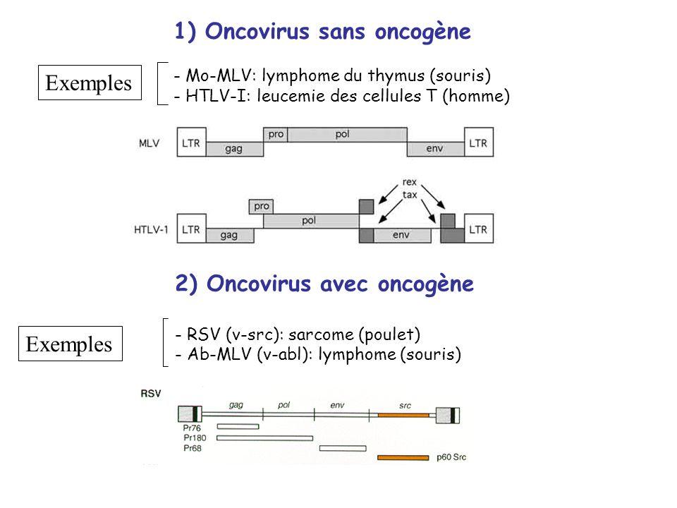 1) Oncovirus sans oncogène - Mo-MLV: lymphome du thymus (souris) - HTLV-I: leucemie des cellules T (homme) Exemples 2) Oncovirus avec oncogène - RSV (