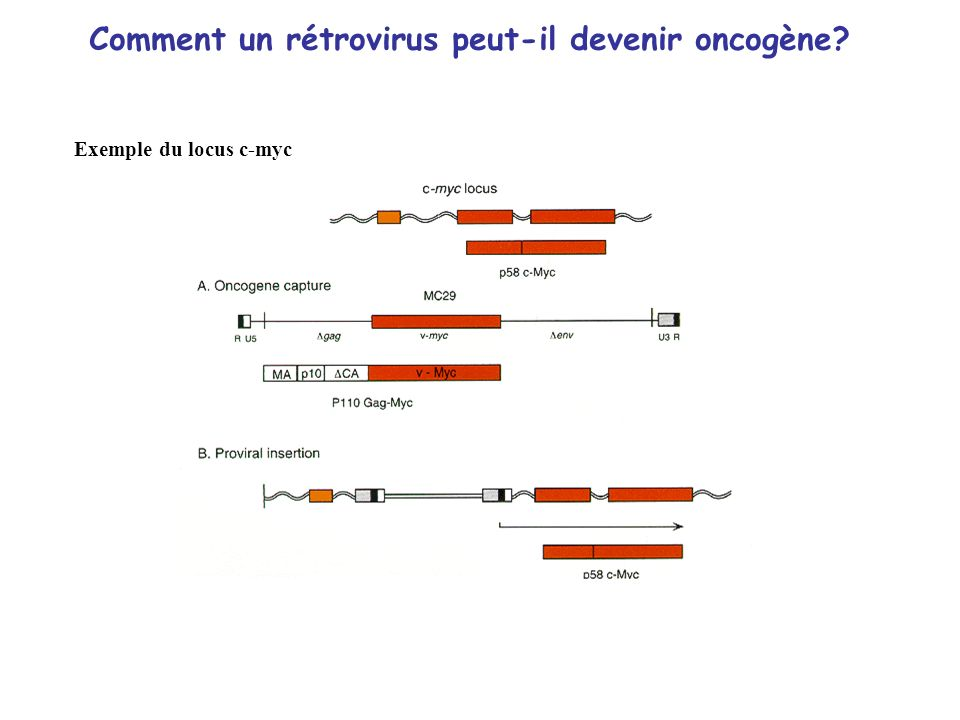 Comment un rétrovirus peut-il devenir oncogène? Exemple du locus c-myc