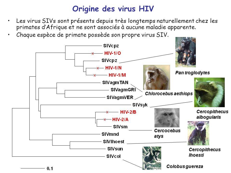 Pan troglodytes Cercocebusatys Cercopithecuslhoesti Cercopithecusalbogularis Colobus guereza Chlorocebus aethiops Les virus SIVs sont présents depuis