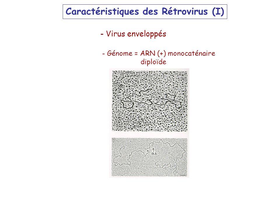 Caractéristiques des Rétrovirus (I) - Génome = ARN (+) monocaténaire diploïde - Virus enveloppés