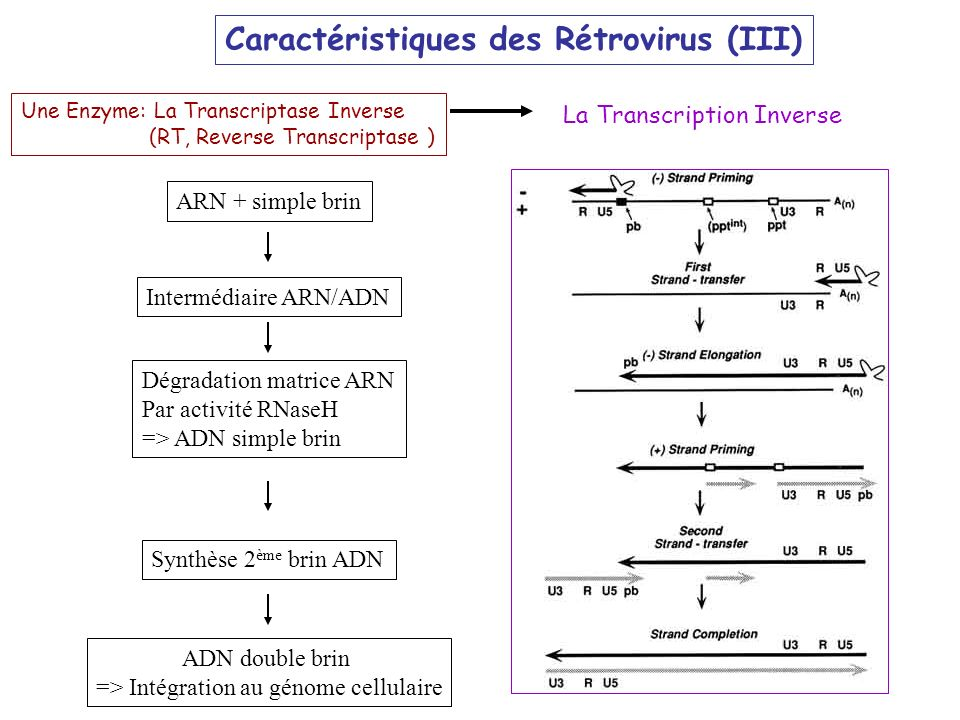 La Transcription Inverse Une Enzyme: La Transcriptase Inverse (RT, Reverse Transcriptase ) ARN + simple brin Intermédiaire ARN/ADN Dégradation matrice