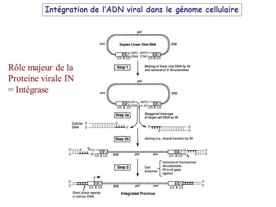 Intégration de lADN viral dans le génome cellulaire Rôle majeur de la Proteine virale IN = Intégrase