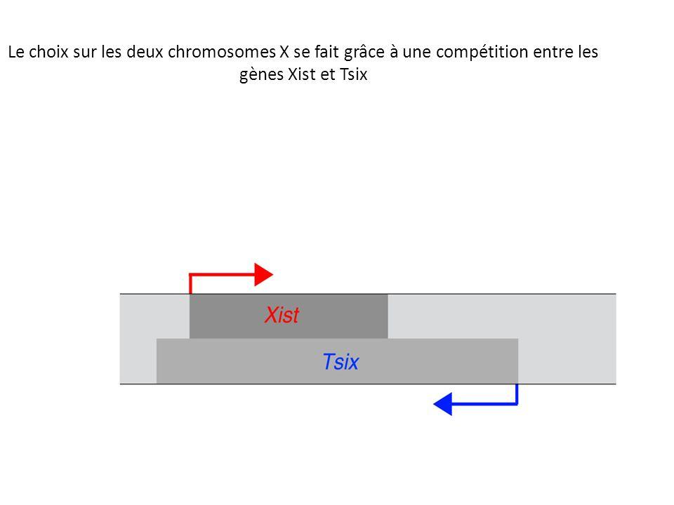 Le choix sur les deux chromosomes X se fait grâce à une compétition entre les gènes Xist et Tsix