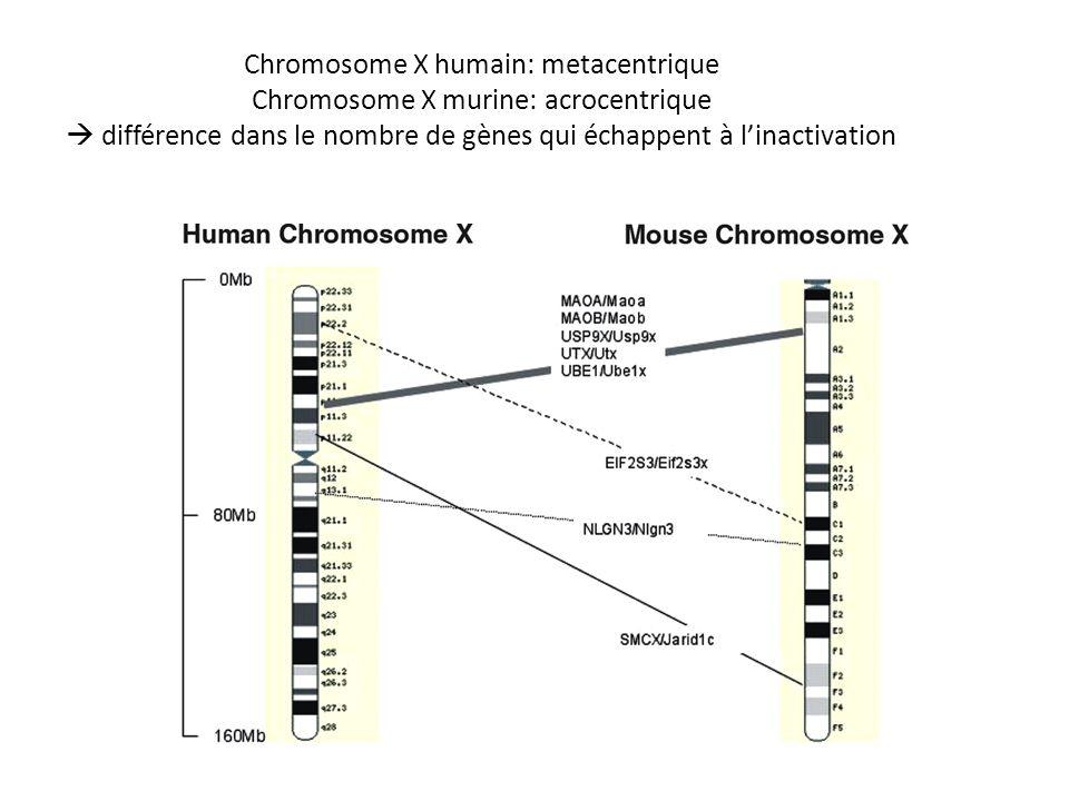 Chromosome X humain: metacentrique Chromosome X murine: acrocentrique différence dans le nombre de gènes qui échappent à linactivation