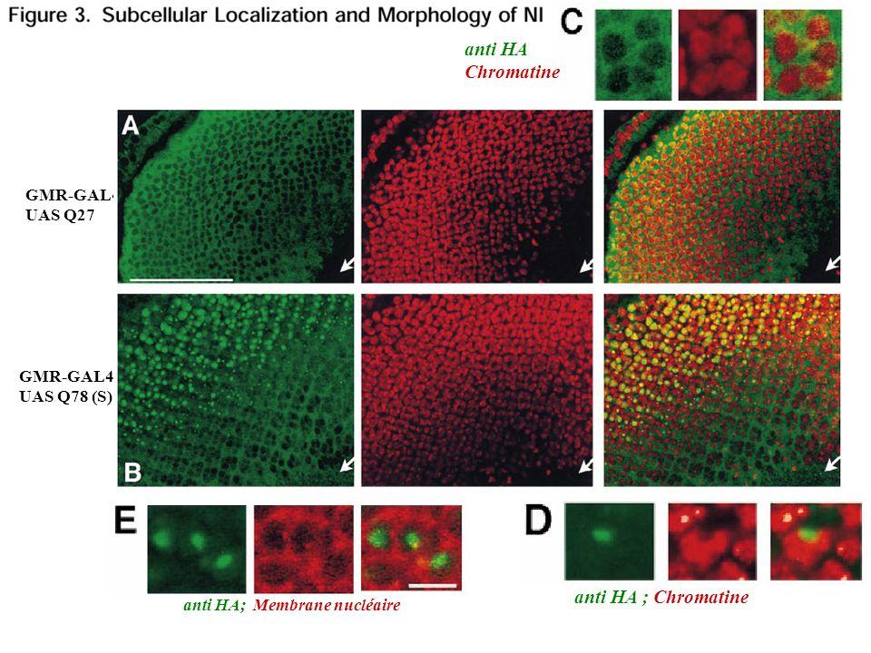 GMR-GAL4 UAS Q27 GMR-GAL4 UAS Q78 (S) anti HA Chromatine anti HA; Membrane nucléaire anti HA ; Chromatine