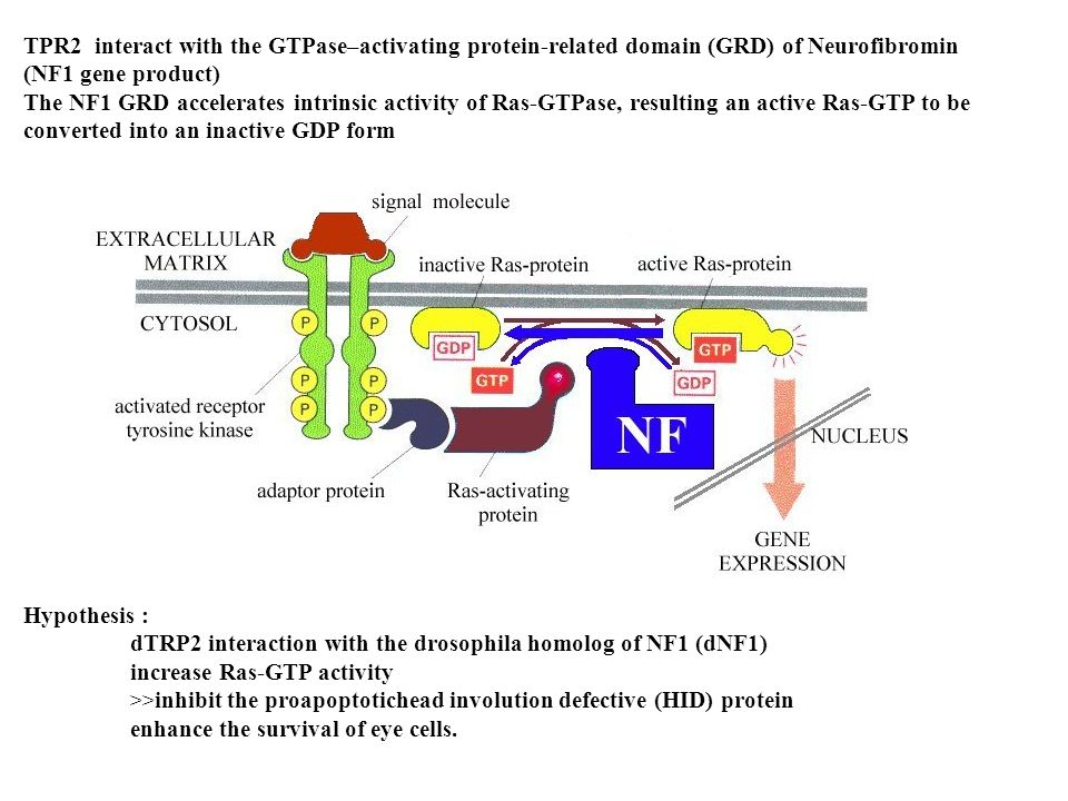 TPR2 interact with the GTPase–activating protein-related domain (GRD) of Neurofibromin (NF1 gene product) The NF1 GRD accelerates intrinsic activity o