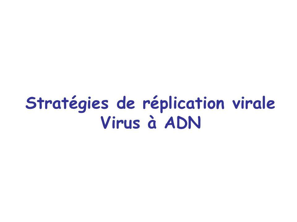 Stratégies de réplication virale Virus à ADN