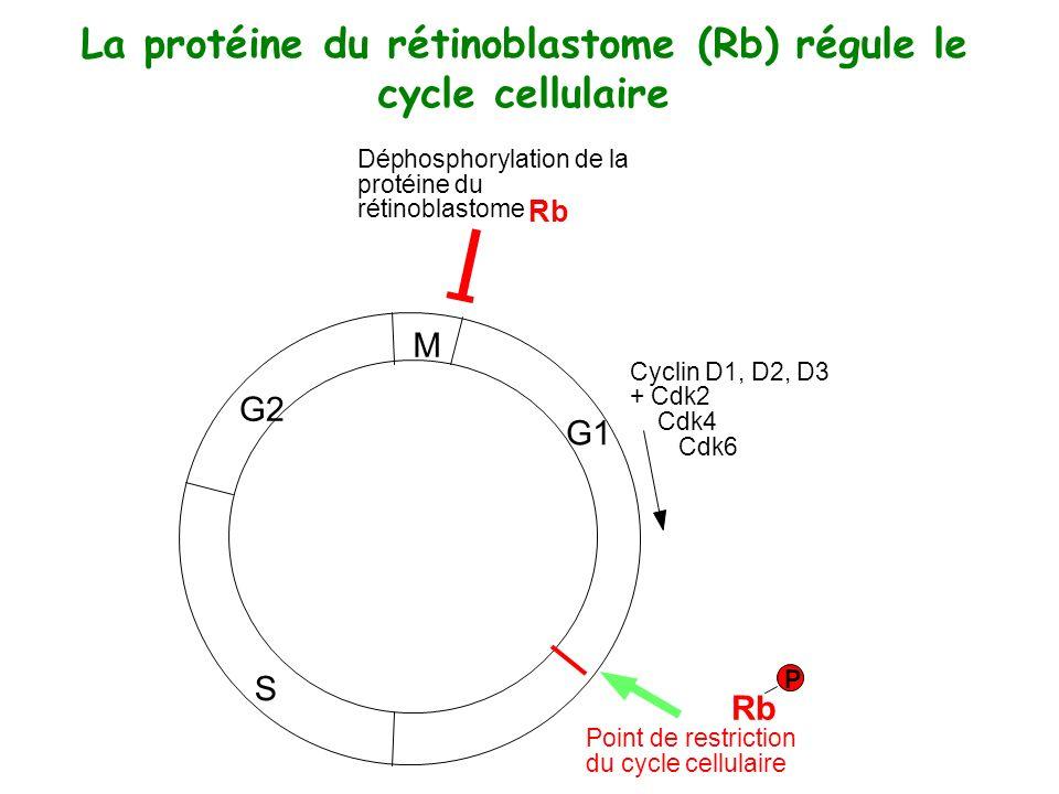 La protéine du rétinoblastome (Rb) régule le cycle cellulaire M G1 S G2 Rb Cyclin D1, D2, D3 + Cdk2 Cdk4 Cdk6 Point de restriction du cycle cellulaire