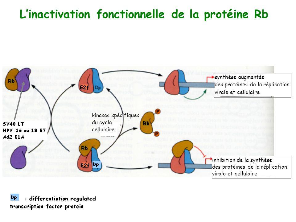 Linactivation fonctionnelle de la protéine Rb synthèse augmentée des protéines de la réplication virale et cellulaire inhibition de la synthèse des pr