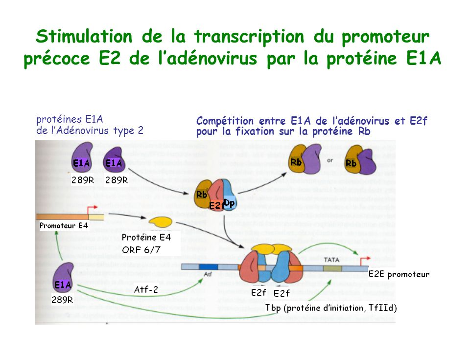 Stimulation de la transcription du promoteur précoce E2 de ladénovirus par la protéine E1A Compétition entre E1A de ladénovirus et E2f pour la fixatio