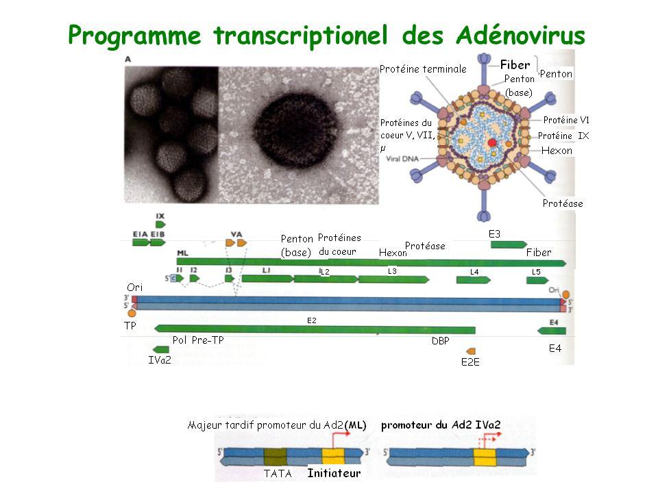 Programme transcriptionel des Adénovirus