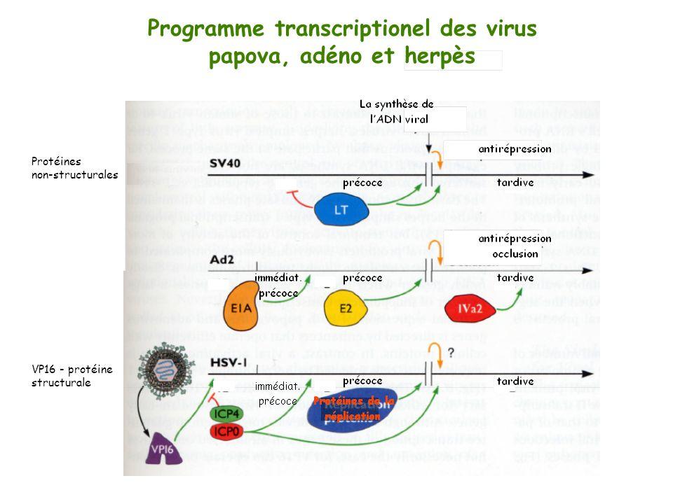 Programme transcriptionel des virus papova, adéno et herpès Protéines non-structurales VP16 - protéine structurale