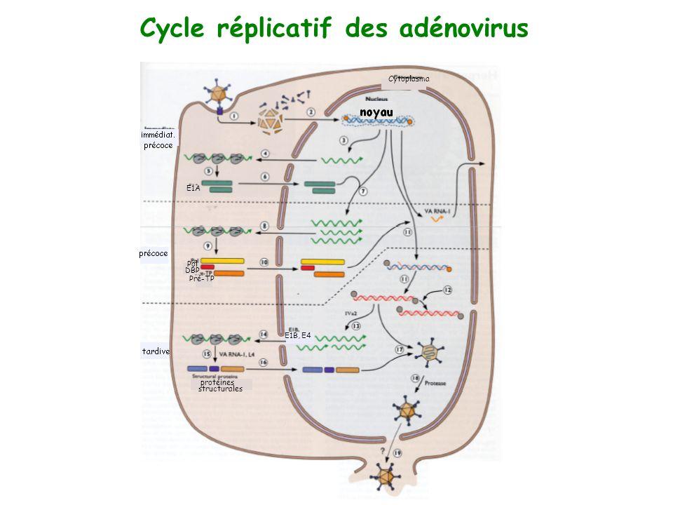 Cycle réplicatif des adénovirus protéines structurales Pol DBP Pré-TP E1A E1B, E4 Cytoplasma