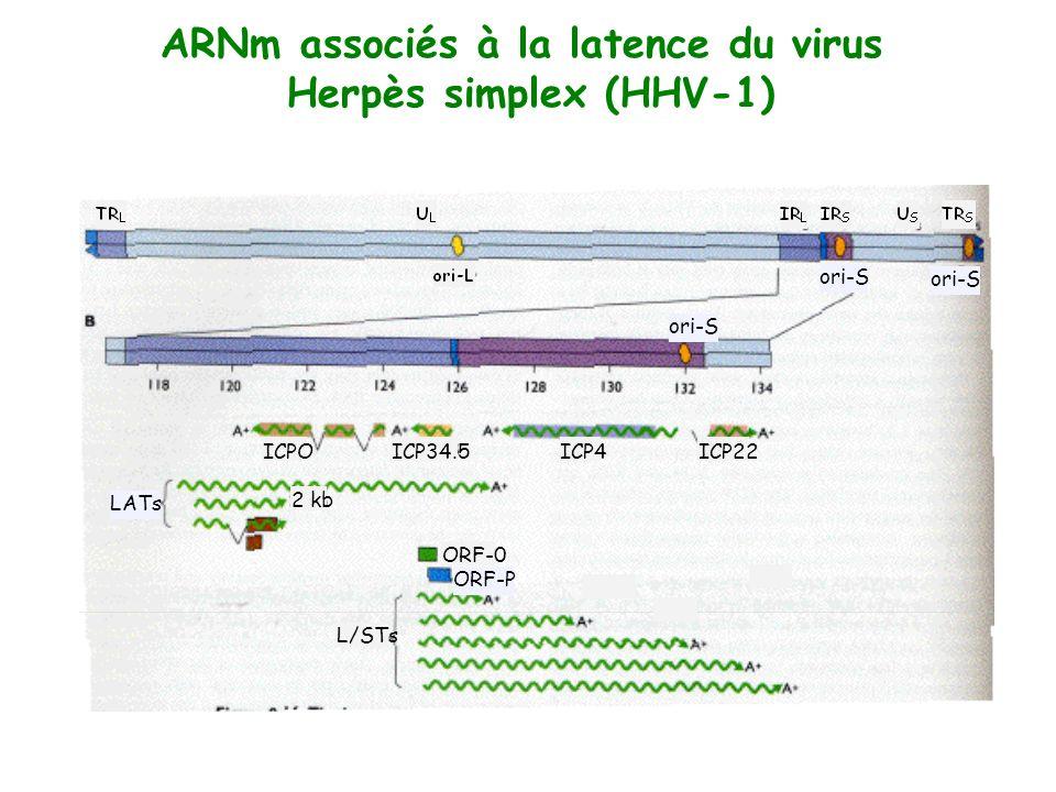 ARNm associés à la latence du virus Herpès simplex (HHV-1) ICP4ICPOICP22ICP34.5 ORF-0 ORF-P LATs L/STs 2 kb ori-S