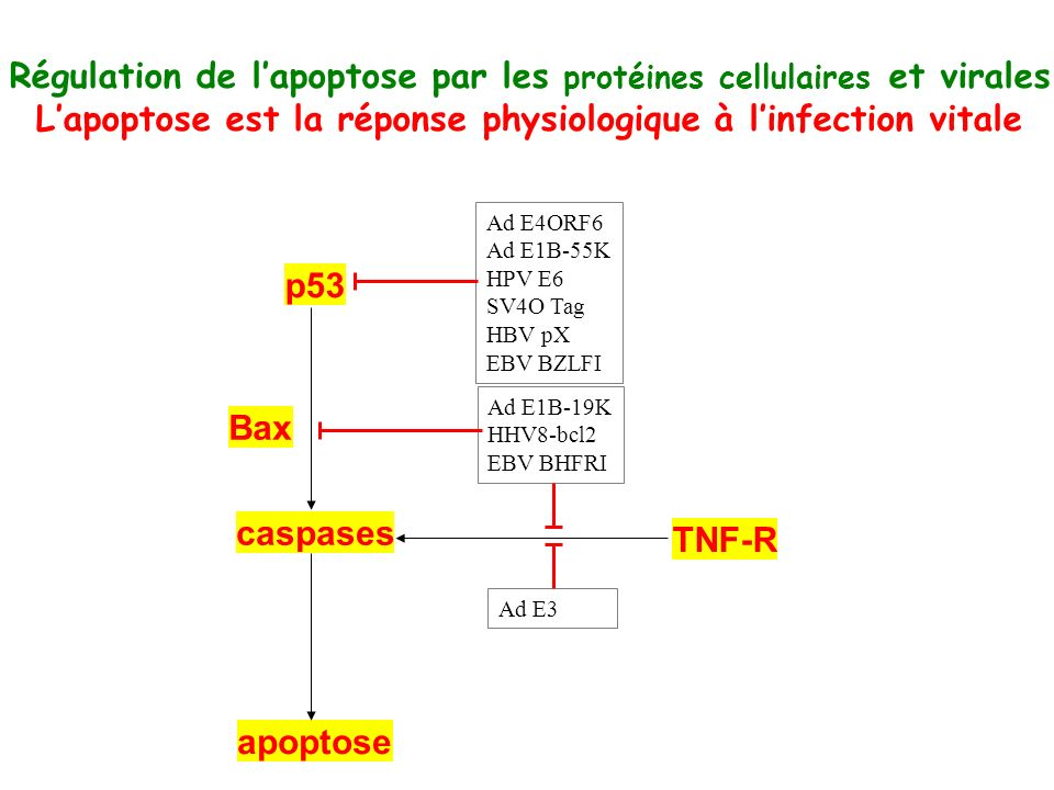 Régulation de lapoptose par les protéines cellulaires et virales Lapoptose est la réponse physiologique à linfection vitale p53 caspases apoptose TNF-