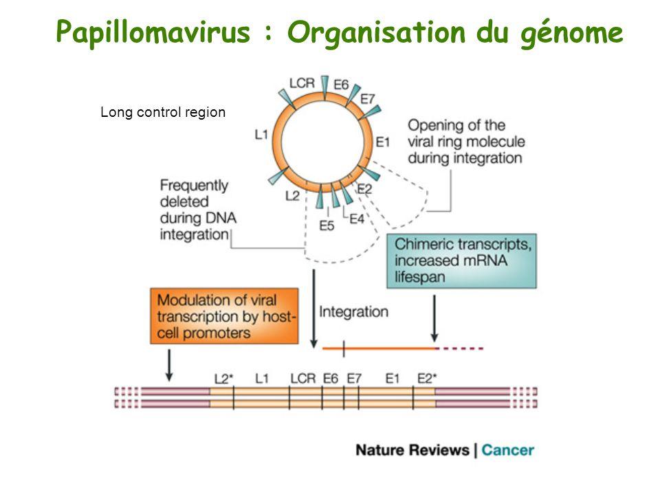 Papillomavirus : Organisation du génome Long control region