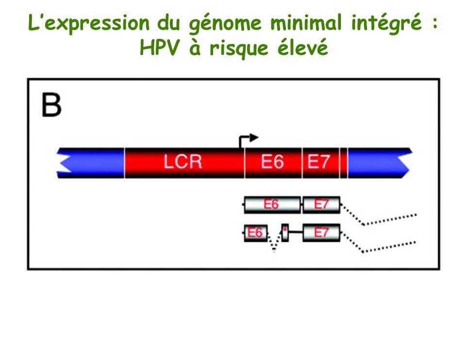 Lexpression du génome minimal intégré : HPV à risque élevé