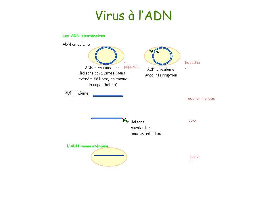 Virus à lADN