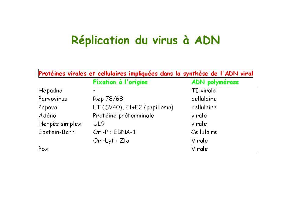 Réplication du virus à ADN