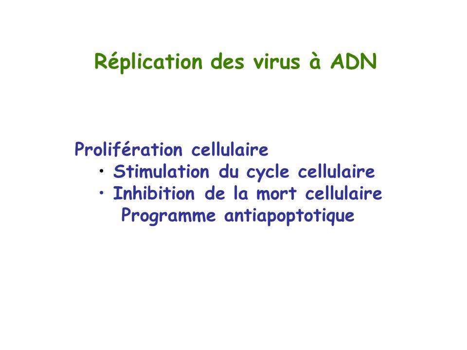 Réplication des virus à ADN Prolifération cellulaire Stimulation du cycle cellulaire Inhibition de la mort cellulaire Programme antiapoptotique