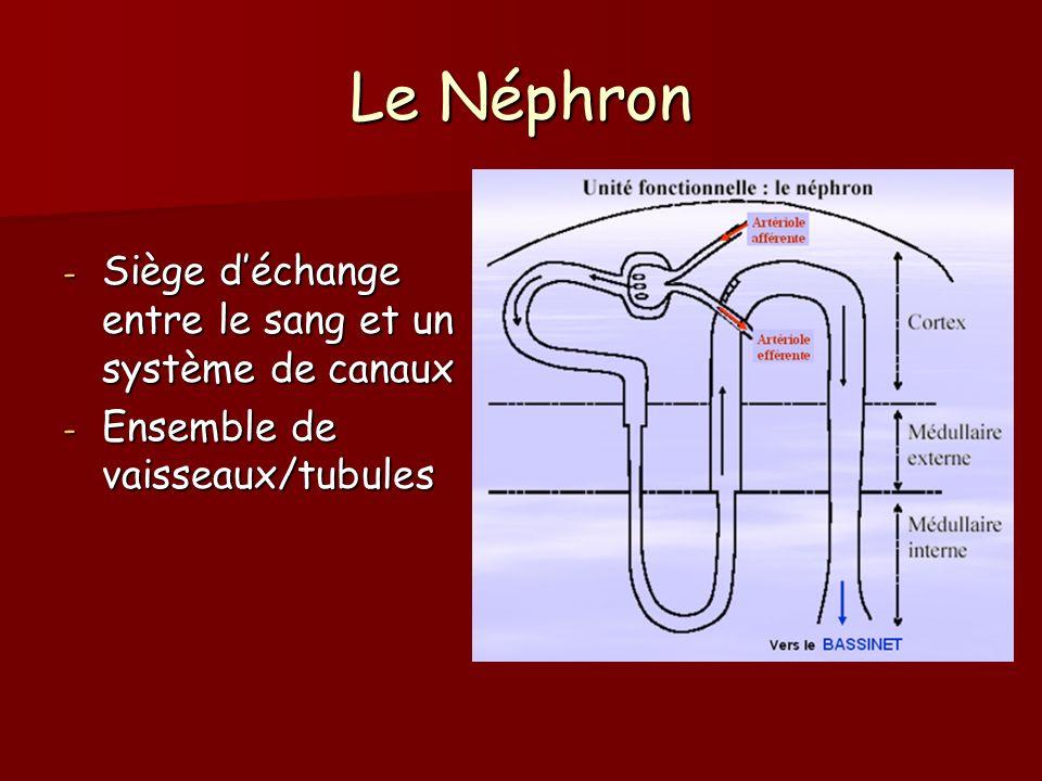 Le Néphron - Siège déchange entre le sang et un système de canaux - Ensemble de vaisseaux/tubules