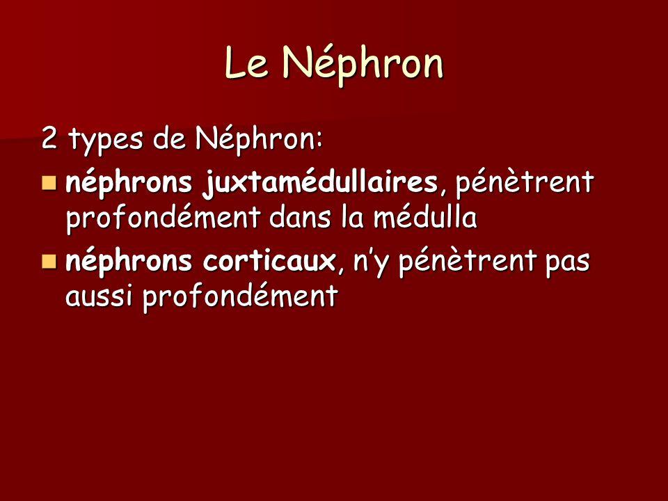 Le Néphron 2 types de Néphron: néphrons juxtamédullaires, pénètrent profondément dans la médulla néphrons juxtamédullaires, pénètrent profondément dan