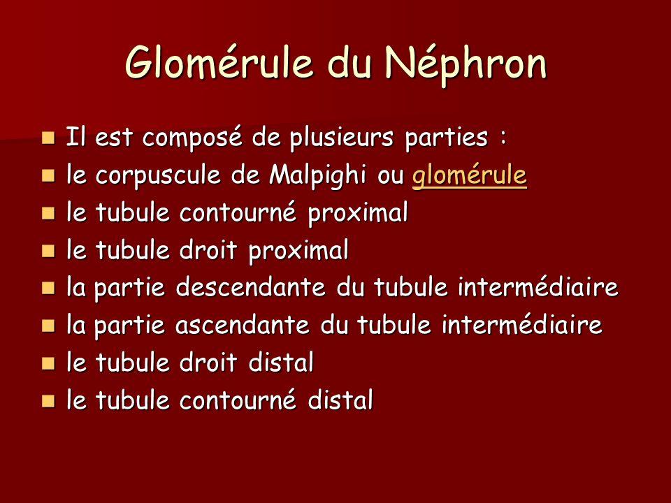 Glomérule du Néphron Il est composé de plusieurs parties : Il est composé de plusieurs parties : le corpuscule de Malpighi ou glomérule le corpuscule