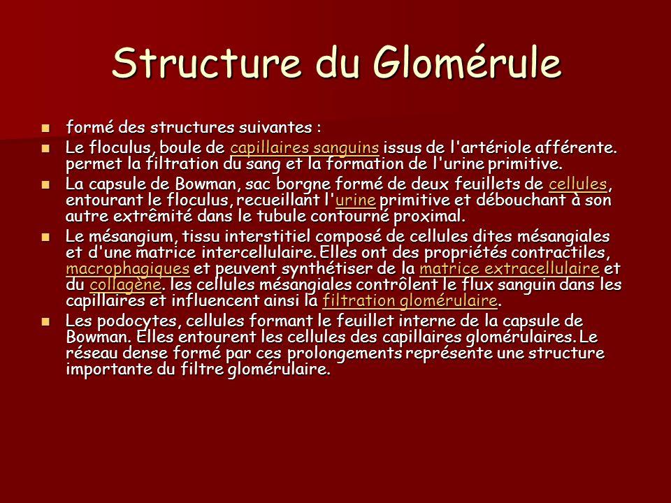 Structure du Glomérule formé des structures suivantes : formé des structures suivantes : Le floculus, boule de capillaires sanguins issus de l'artério
