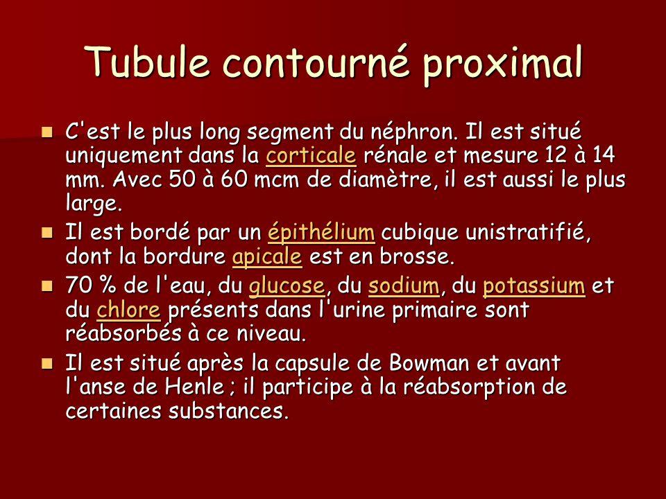 Tubule contourné proximal C'est le plus long segment du néphron. Il est situé uniquement dans la corticale rénale et mesure 12 à 14 mm. Avec 50 à 60 m