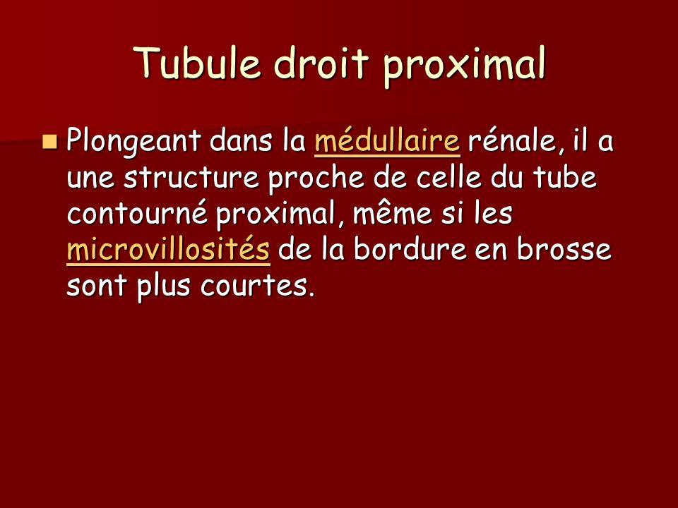 Tubule droit proximal Plongeant dans la médullaire rénale, il a une structure proche de celle du tube contourné proximal, même si les microvillosités