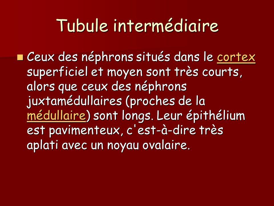 Tubule intermédiaire Ceux des néphrons situés dans le cortex superficiel et moyen sont très courts, alors que ceux des néphrons juxtamédullaires (proc
