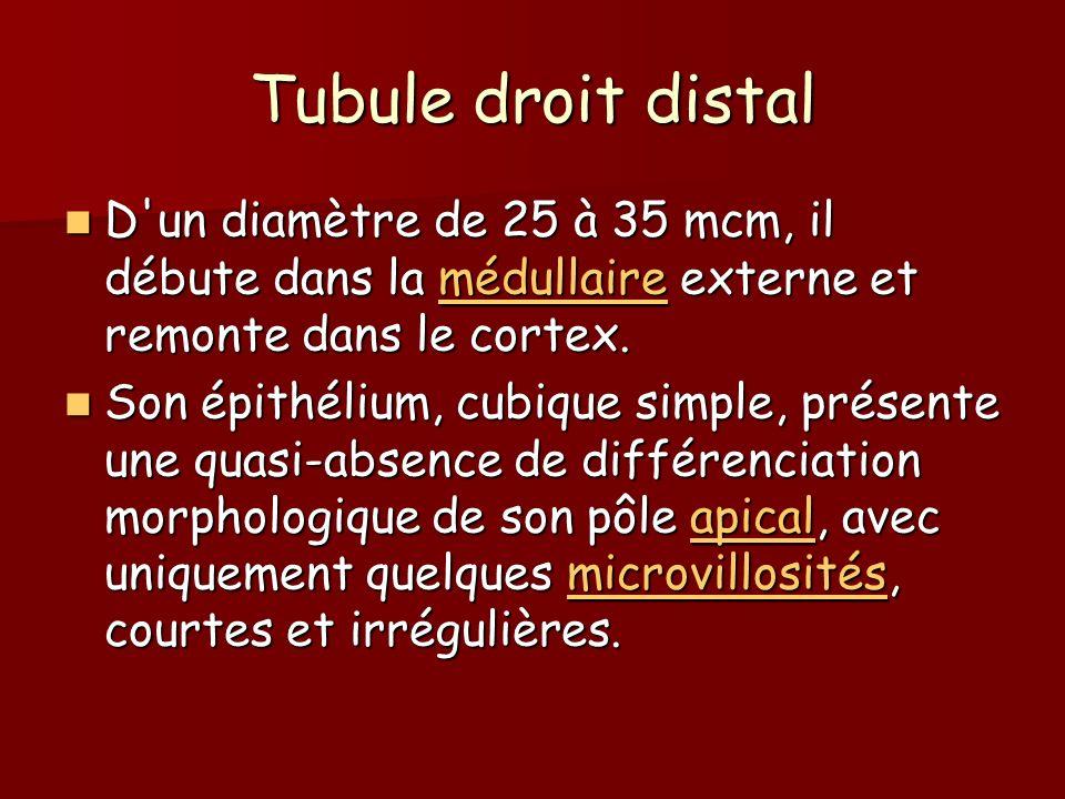 Tubule droit distal D'un diamètre de 25 à 35 mcm, il débute dans la médullaire externe et remonte dans le cortex. D'un diamètre de 25 à 35 mcm, il déb
