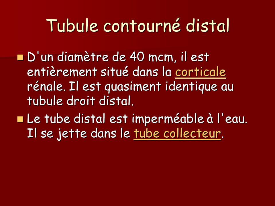 Tubule contourné distal D'un diamètre de 40 mcm, il est entièrement situé dans la corticale rénale. Il est quasiment identique au tubule droit distal.