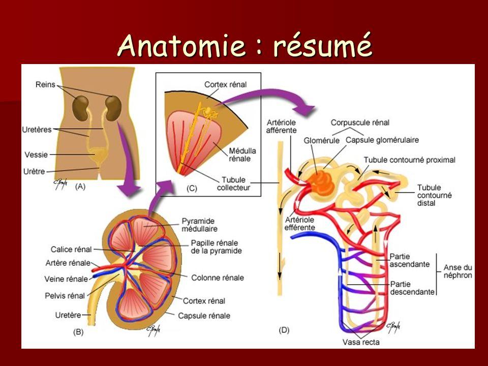 Anatomie : résumé