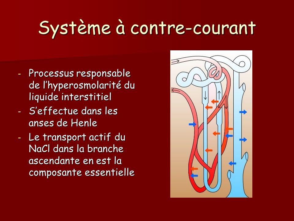 Système à contre-courant - Processus responsable de lhyperosmolarité du liquide interstitiel - Seffectue dans les anses de Henle - Le transport actif