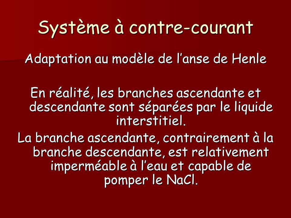 Système à contre-courant Adaptation au modèle de lanse de Henle En réalité, les branches ascendante et descendante sont séparées par le liquide inters