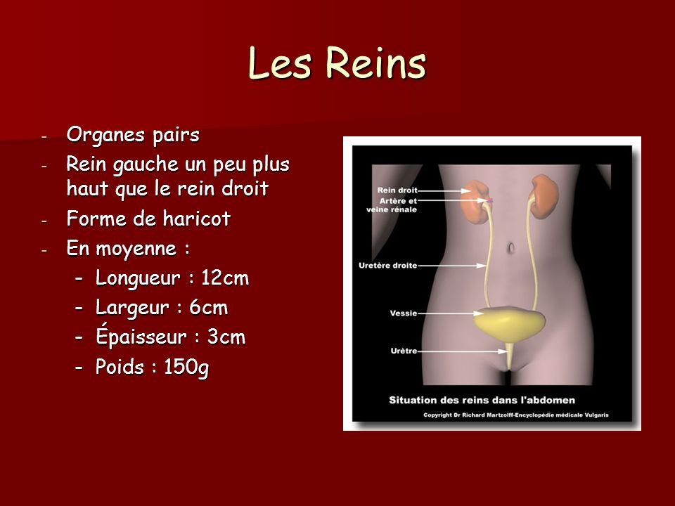 Les Reins - Organes pairs - Rein gauche un peu plus haut que le rein droit - Forme de haricot - En moyenne : -Longueur : 12cm -Largeur : 6cm -Épaisseu